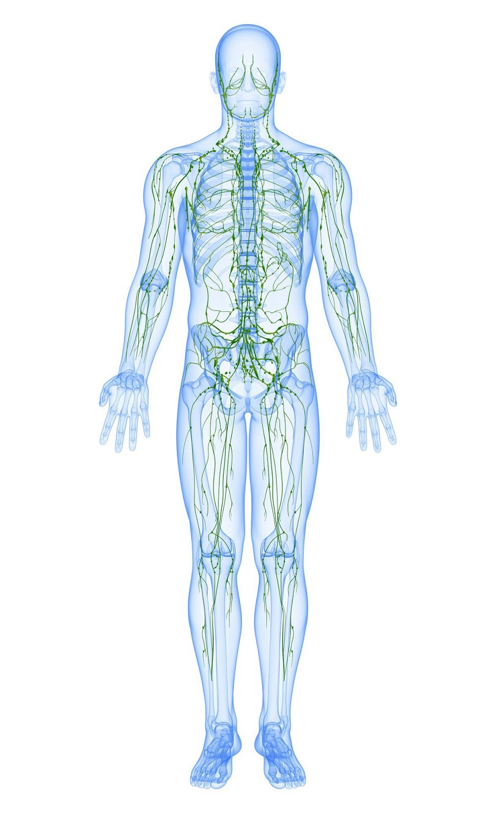 Lymphatic System In Man's Body