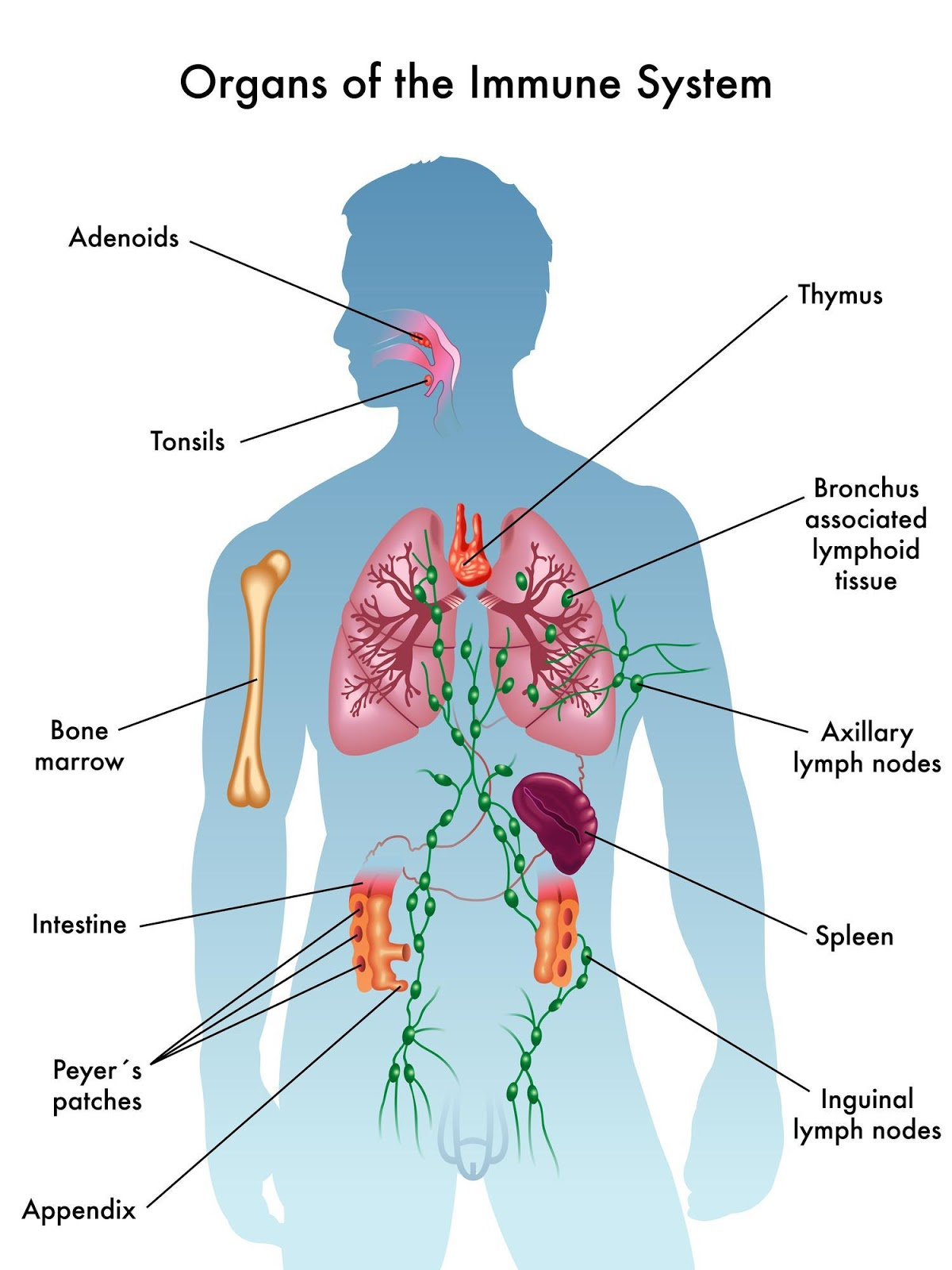 the importance of the lymphatic system The lymph system plays a crucial part in detoxification and defense about two liters of lymph fluid circulate in our lymphatic vessels that cover the body from the tips of the toes to the top of the head.