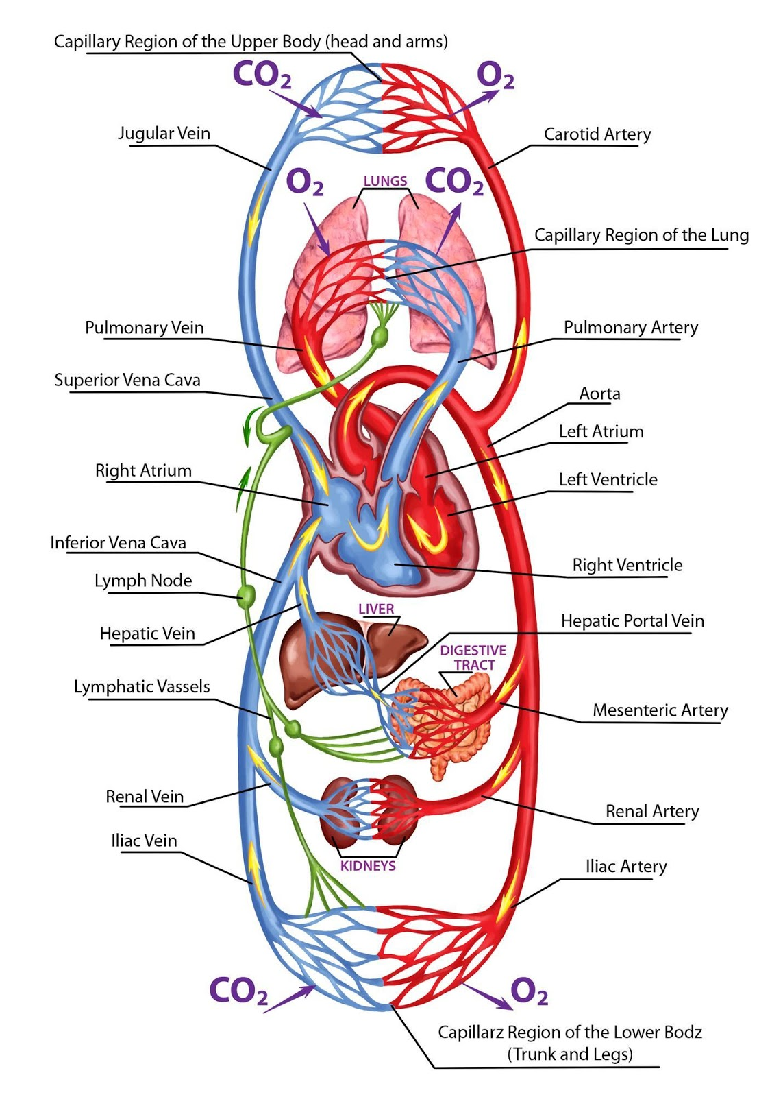Show arteries and veins